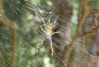 Daintree-spider