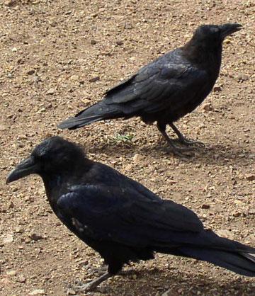 Ravenpair_1